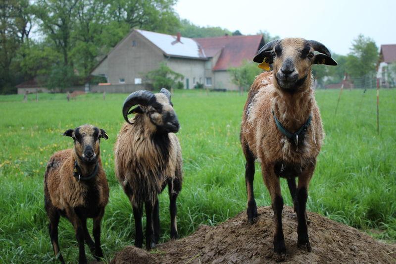 AG Wolf - Naturschutz mit Schafen in der Kulturlandschaft