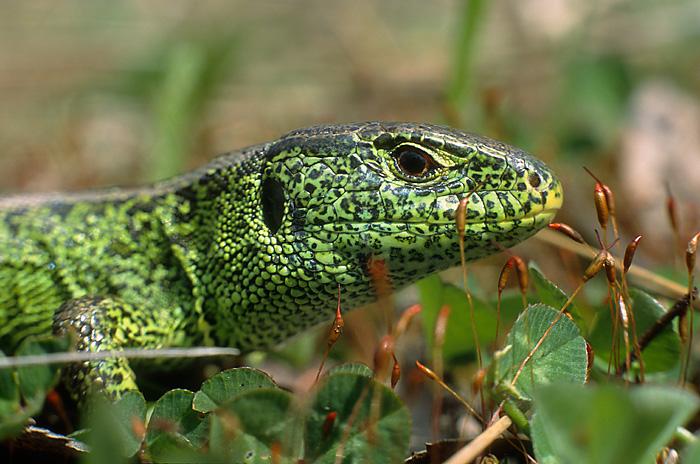 Zeuneidechse ist Reptil des Jahres 2021
